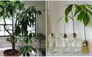 Как поливать авокадо в домашних условиях
