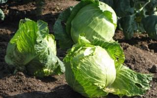 Как подготовить осенью почву под капусту