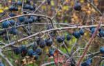Заготовки из терна на зиму рецепты вино