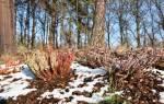 Как подготовить к зиме вереск