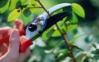Как избавиться в саду от корней вишни