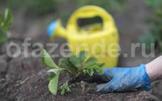 Как подкормить клубнику осенью навозом
