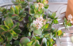 Денежный цветок как ухаживать