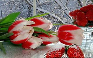 Как выгнать тюльпаны в домашних условиях