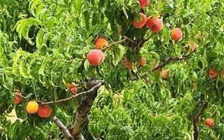 Как делать обрезку персика
