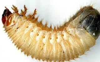 В компосте большие белые личинки что это
