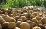 Как повысить урожай картофеля на дачном участке