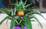 Как дома выращивать ананас