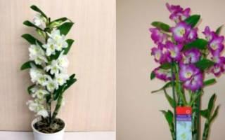 Как заставить дендробиум цвести