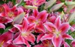 Как подготовить лилии к зиме в сибири