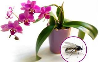 Как избавиться от мошек в орхидеях в домашних условиях