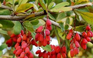 Как вырастить из семян барбарис