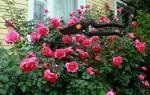 Как обрезать кустовую розу