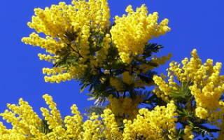 Как выглядят цветы мимоза