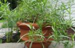 Как вырастить тархун на даче