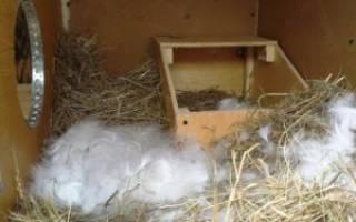 За сколько дней до родов крольчиха рвет пух