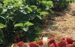 Как подготовить землю под клубнику