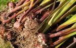 Как осенью пересаживать гладиолусы