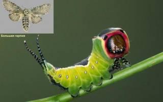 Гусеница черная с белыми точками и шипами
