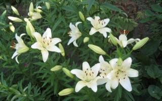 В каком месяце выкапывают лилии