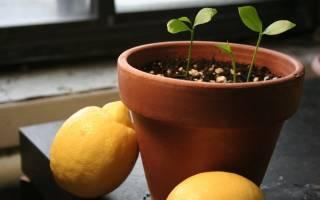 Как выращивать лимонное дерево в домашних условиях