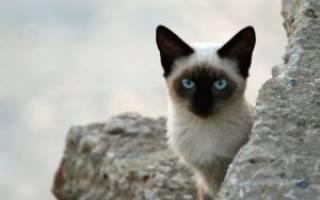 Блохи у кошек передаются человеку или нет