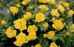 Как выращивать карликовую розу