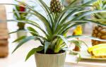 Как дома растет ананас