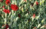 Как вырастить гвоздику из семян в домашних условиях