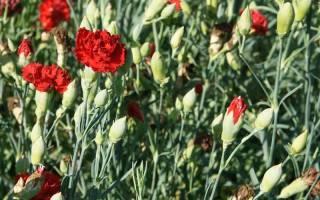 Как вырастить гвоздику шабо из семян в домашних условиях