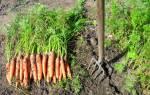 Как правильно убирать морковь на хранение