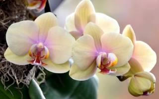 Как долго цветет орхидея