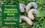 Как выглядит личинка майского жука