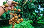 Как в домашних условиях вырастить лонган