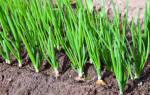 Как правильно выращивать лук