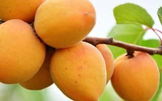 Как вырастить абрикос из косточки в домашних условиях с плодами