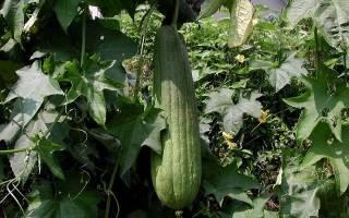 Как правильно называется растение мочалка