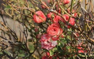 Как правильно утеплить на зиму розы