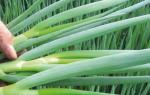 Как пересаживать лук батун