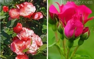 Как подстричь розы на зиму