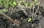 Как пересадить черную смородину осенью