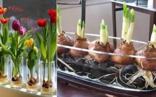 Как вырастить тюльпаны в вазе с водой без земли