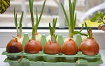 Как вырастить из луковицы лук