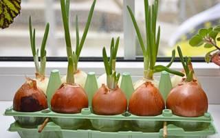 Как дома вырастить зеленый лук