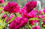 В какое время года цветут пионы