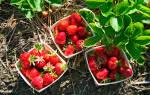 Как подготовить клубнику и землянику на зиму