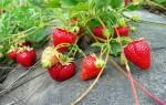Как правильно выращивать клубнику
