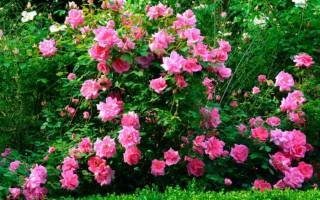 Как прививать розу на розу