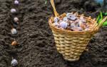 Как подготовить землю под озимый чеснок