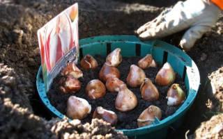 Как правильно садить тюльпаны осенью